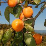 柿狩り 富有柿