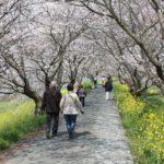 流川桜のトンネル
